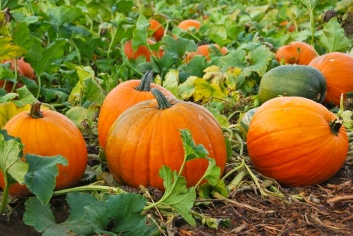 Pumpkin-Patch-
